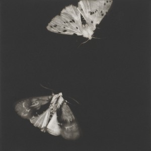 Alder and Ermine Moths (2013), Mezzotint, Edition of 40, 29 x29cm