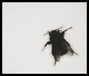 Sarah Gillespie Bee Dry-point engraving