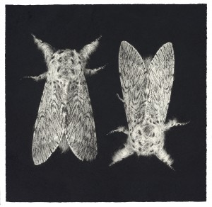 Sarah Gillespie Puss Moths (Cerura vinula) Charcoal and Graphite on Arches paper 2016 56 x 57 cm (22 x 22.5 inches)