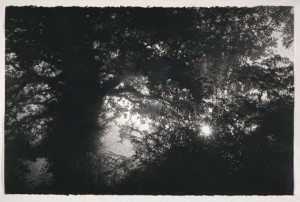 Oak in the Lane (2012), Charcoal on Arches Paper, 67 x 102cm (26.5 x 40 inches)