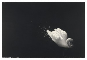 Swan at Stackpole (Upon a Darkening Flood) (2014), Watercolour and Charcoal on 638gsm Saunders Waterford Paper, 101.6 x 152.5cm (40 x 60 inches)