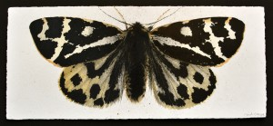 Wood Tiger Moth (2013), Watercolour and Charcoal on 356gsm Saunders Waterford Paper, 19.5 x 44.5cm (7.5 x 17.5 inches)