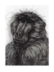 SOLD - Kendra Haste, Baboon, Charcoal on paper